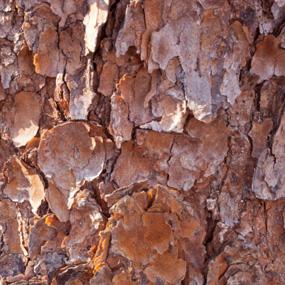 Pinus_pinaster_8